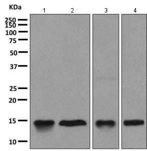 Western blot - Anti-Galectin 10 antibody [EPR11197] - BSA and Azide free (ab249338)