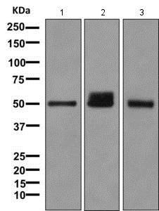 Western blot - Anti-UGT1A6 antibody [EPR11068] - BSA and Azide free (ab249339)