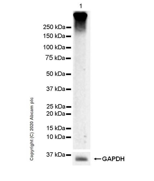 Western blot - Anti-Metabotropic Glutamate Receptor 3/MGLUR3 antibody [EPR9009(2)] - BSA and Azide free (ab249349)