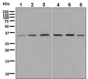 Western blot - Anti-DNAJC9 antibody [EPR9856] - BSA and Azide free (ab249352)