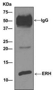 Immunoprecipitation - Anti-ERH antibody [EPR10830(B)] - BSA and Azide free (ab249359)