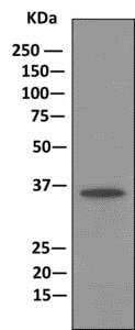 Immunoprecipitation - Anti-Annexin-9/ANXA9 antibody [EPR11220] - BSA and Azide free (ab249360)