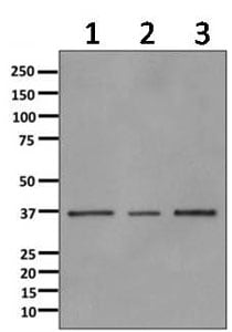 Western blot - Anti-Annexin-9/ANXA9 antibody [EPR11220] - BSA and Azide free (ab249360)