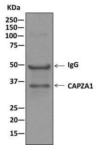 Immunoprecipitation - Anti-CAPZA1 antibody [EPR11210] - BSA and Azide free (ab249376)