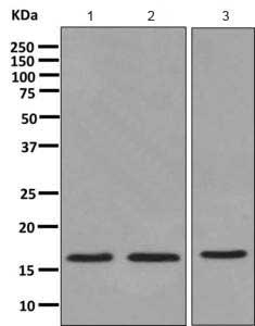 Western blot - Anti-Acid phosphatase/ACP1 antibody [EPR9839] - BSA and Azide free (ab249379)