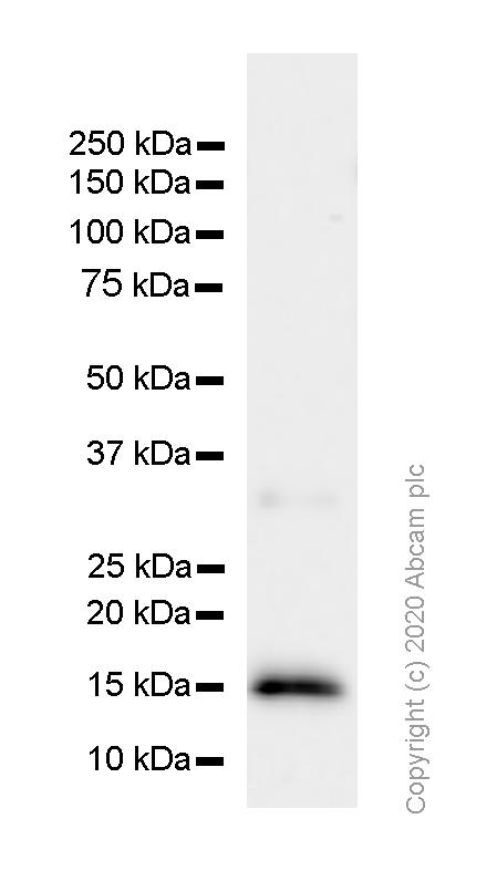 Western blot - Anti-IL-3 antibody [EPR7964] - BSA and Azide free (ab249402)