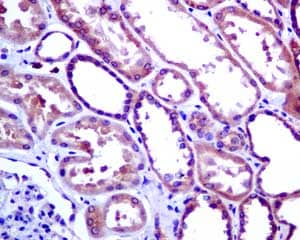 Immunohistochemistry (Formalin/PFA-fixed paraffin-embedded sections) - Anti-TRAF2 antibody [EPR7064] - BSA and Azide free (ab249405)