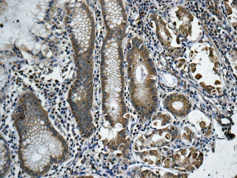 Immunohistochemistry (Formalin/PFA-fixed paraffin-embedded sections) - Anti-RPS12 antibody [EPR10964(B)] - BSA and Azide free (ab249439)