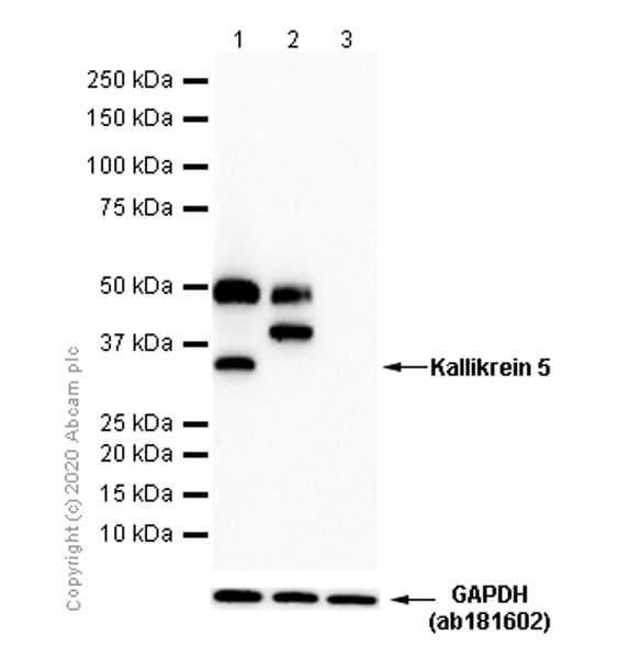 Western blot - Anti-Kallikrein 5 antibody [EPR9278] - BSA and Azide free (ab249442)