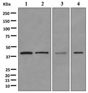 Western blot - Anti-PCBP1 antibody [EPR11049(B)] - BSA and Azide free (ab249469)