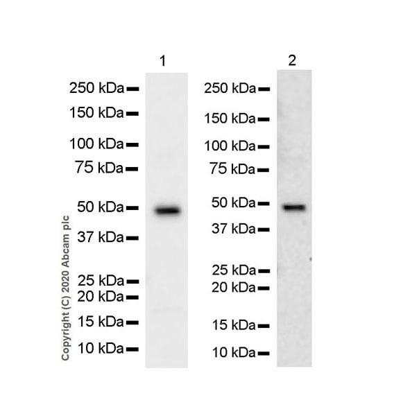 Western blot - Anti-Steroidogenic Factor 1/SF-1 antibody [EPR11695(B)] - BSA and Azide free (ab249471)