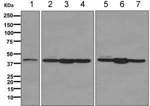 Western blot - Anti-EXTL2 antibody [EPR11130] - BSA and Azide free (ab249478)
