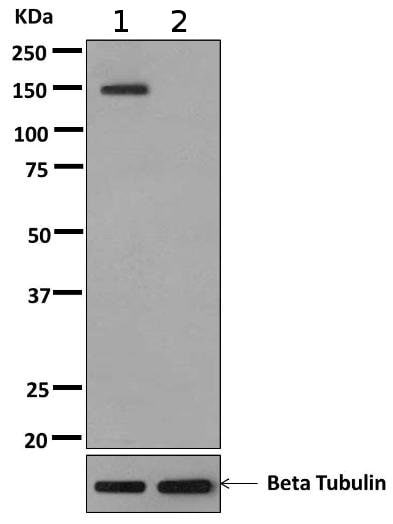 Western blot - Anti-PTP alpha (phospho Y798) antibody [EPR10369] - BSA and Azide free (ab249516)
