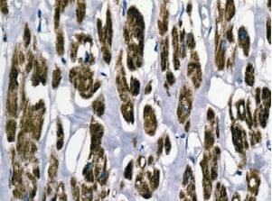 Immunohistochemistry (Formalin/PFA-fixed paraffin-embedded sections) - Anti-ECHS1 antibody [EPR11784(B)] - BSA and Azide free (ab249535)