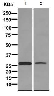 Western blot - Anti-ECHS1 antibody [EPR11784(B)] - BSA and Azide free (ab249535)
