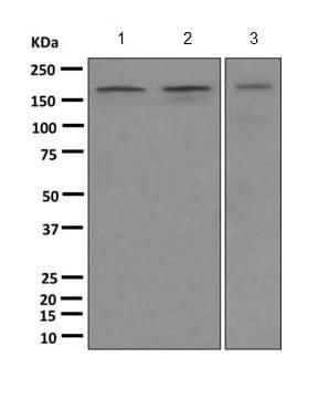 Western blot - Anti-SF3B1 antibody [EPR11987(B)] - BSA and Azide free (ab249538)
