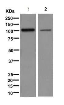Western blot - Anti-ERC2 antibody [EPR9419] - BSA and Azide free (ab249545)