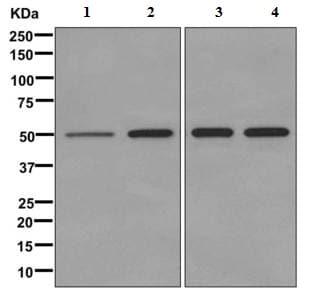 Western blot - Anti-PPOX antibody [EPR10401] - BSA and Azide free (ab249564)
