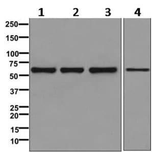 Western blot - Anti-TH1L antibody [EPR11594] - BSA and Azide free (ab249604)