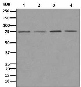 Western blot - Anti-NUB1 antibody [EPR10716] - BSA and Azide free (ab249633)