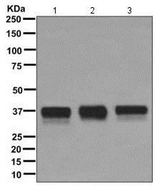 Western blot - Anti-TRA2B/SFRS10 antibody [EPR11831] - BSA and Azide free (ab249637)
