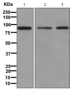 Western blot - Anti-PDZRN4 antibody [EPR11852] - BSA and Azide free (ab249638)