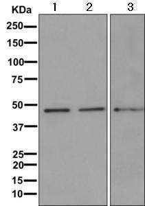 Western blot - Anti-SKAP55 antibody [EPR11359] - BSA and Azide free (ab249666)