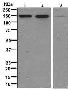 Western blot - Anti-Collagen VI antibody [EPR7888(N)] - BSA and Azide free (ab249703)