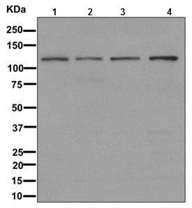 Western blot - Anti-hnRNP U/p120 antibody [EPR12279] - BSA and Azide free (ab249705)