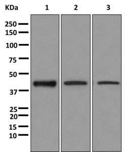 Western blot - Anti-CAMK1D antibody [EPR3536(2)] - BSA and Azide free (ab249712)
