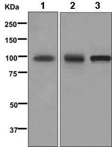 Western blot - Anti-VCAM1 antibody [EPR5038(2)] - BSA and Azide free (ab249790)