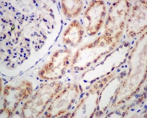 Immunohistochemistry (Formalin/PFA-fixed paraffin-embedded sections) - Anti-TGN46 antibody [EPR12676] - BSA and Azide free (ab249791)