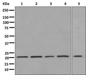 Western blot - Anti-Smac/Diablo antibody [EPR10934] - BSA and Azide free (ab249794)