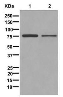 Western blot - Anti-WDTC1 antibody [EPR12504] - BSA and Azide free (ab249799)