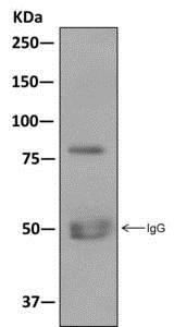 Immunoprecipitation - Anti-CLCA1 antibody [EPR12254] - BSA and Azide free (ab249816)