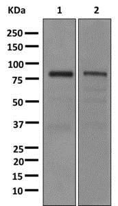Western blot - Anti-CLCA1 antibody [EPR12254] - BSA and Azide free (ab249816)