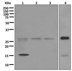 Western blot - Anti-Caspase-14 antibody [EPR12927] - BSA and Azide free (ab249835)