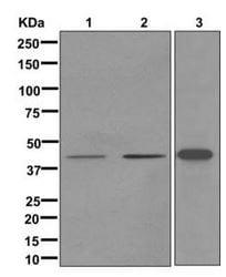Western blot - Anti-CALHM3 antibody [EPR12513] - BSA and Azide free (ab249860)