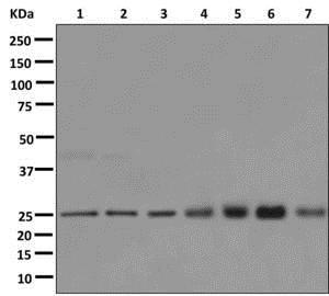 Western blot - Anti-RAB11B antibody [EPR12719] - BSA and Azide free (ab249917)