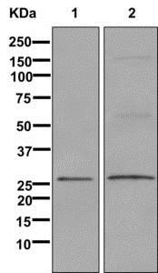 Western blot - Anti-GDNF antibody [EPR2714(N)] - BSA and Azide free (ab249924)
