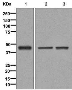 Western blot - Anti-ISL-2 antibody [EPR12785] - BSA and Azide free (ab249931)