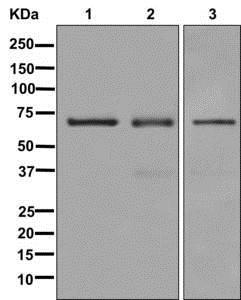 Western blot - Anti-IMP3 antibody [EPR12021] - BSA and Azide free (ab249982)