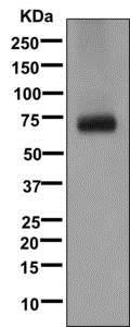Western blot - Anti-GABA Transporter 1 / GAT 1 antibody [EPR12998] - BSA and Azide free (ab249987)