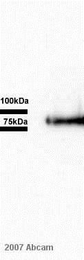 Western blot - Anti-CX3CL1 antibody (ab25088)
