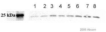 Western blot - Anti-MCP1 antibody (ab25124)