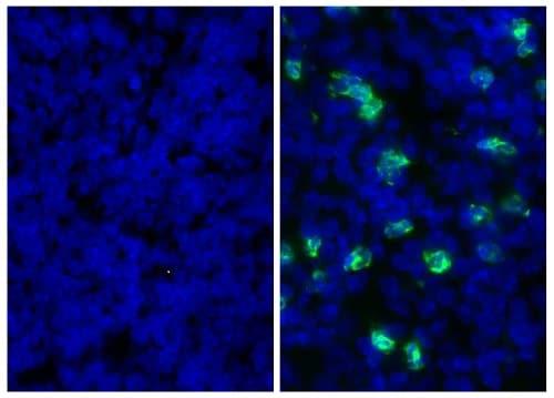 Immunohistochemistry (Frozen sections) - Anti-Ly6g antibody [RB6-8C5] (ab25377)