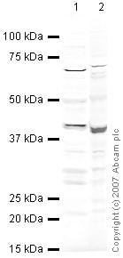 Western blot - Anti-HEY2 antibody (ab25404)