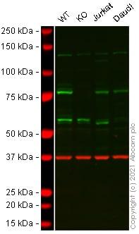 Western blot - Anti-CENPB antibody (ab25734)