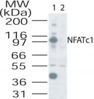 Western blot - Anti-NFAT2 antibody (ab25916)