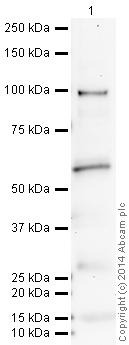 Western blot - Anti-RBPJK antibody (ab25949)